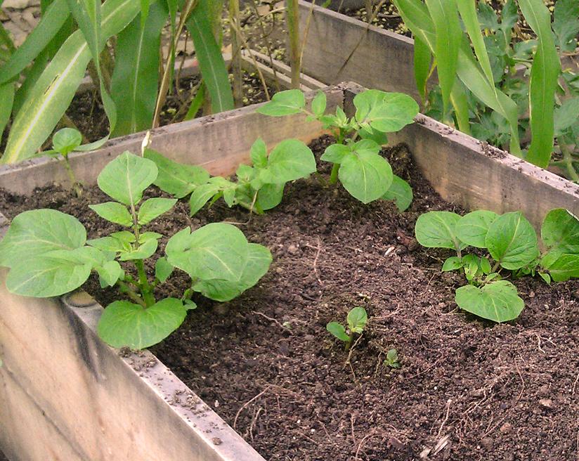 Winter Garden Potato Box
