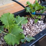 Hydroponics with a winter crop of Kale