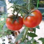 Tomato Varieties 2