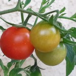 Tomato Varieties 1