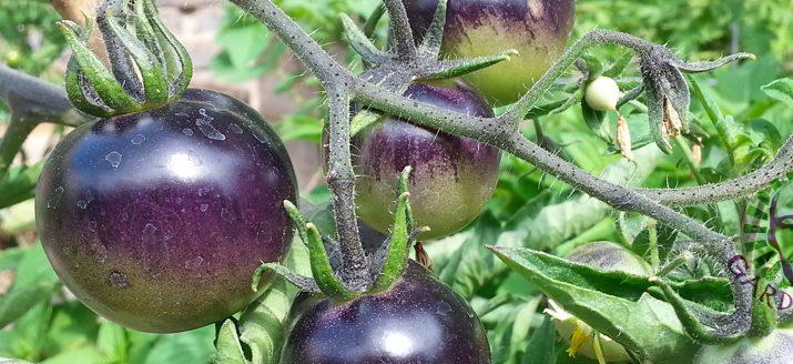 Heirloom Tomato Varieties Pink Boar, Indigo Rose, Cherokee ...