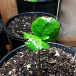 Coffea Catura Seedling 2
