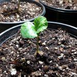 Coffea Catura Sprout