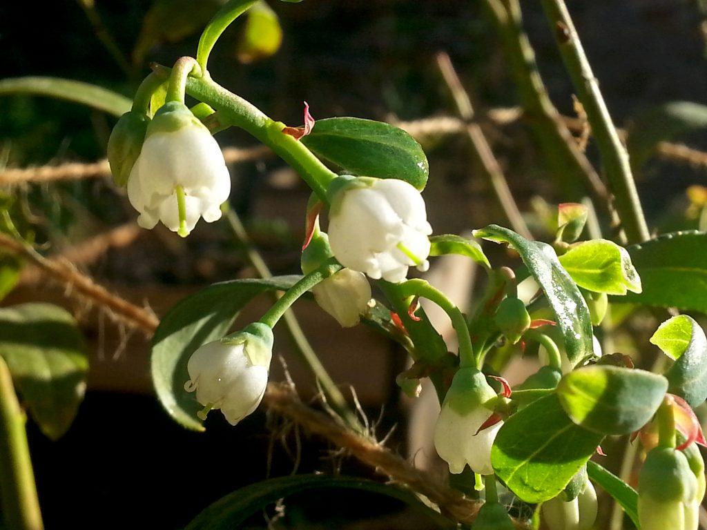 Pink Lemonade Blueberries