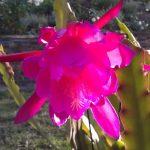 Epiphyllum Hybrid X 1