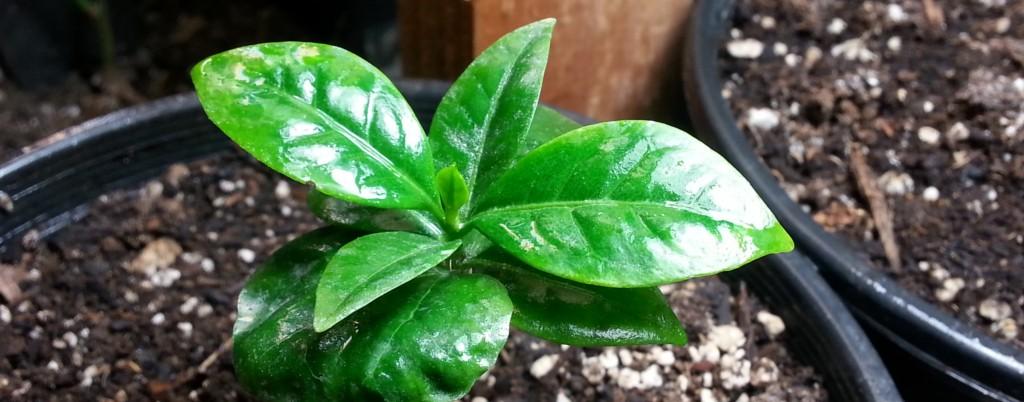 Coffea Racemosa