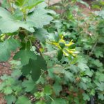 Golden Currant Bloom