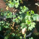 Golden Currant Green Growth