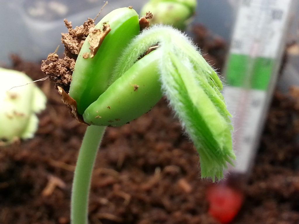 Tamarind Seed Sprout