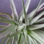 Stricta Pup
