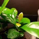 leaf tip dybowskii dewevrei