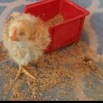 Helen-the-blind-chicken.jpg