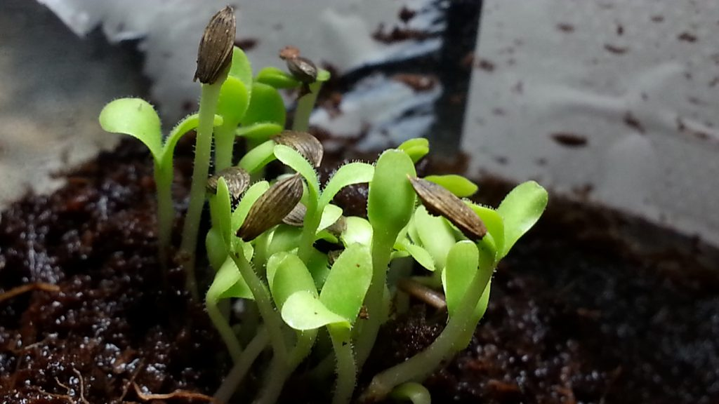 Microgreens Sprouting