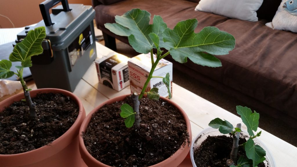 Young Figs on a Coffee Table