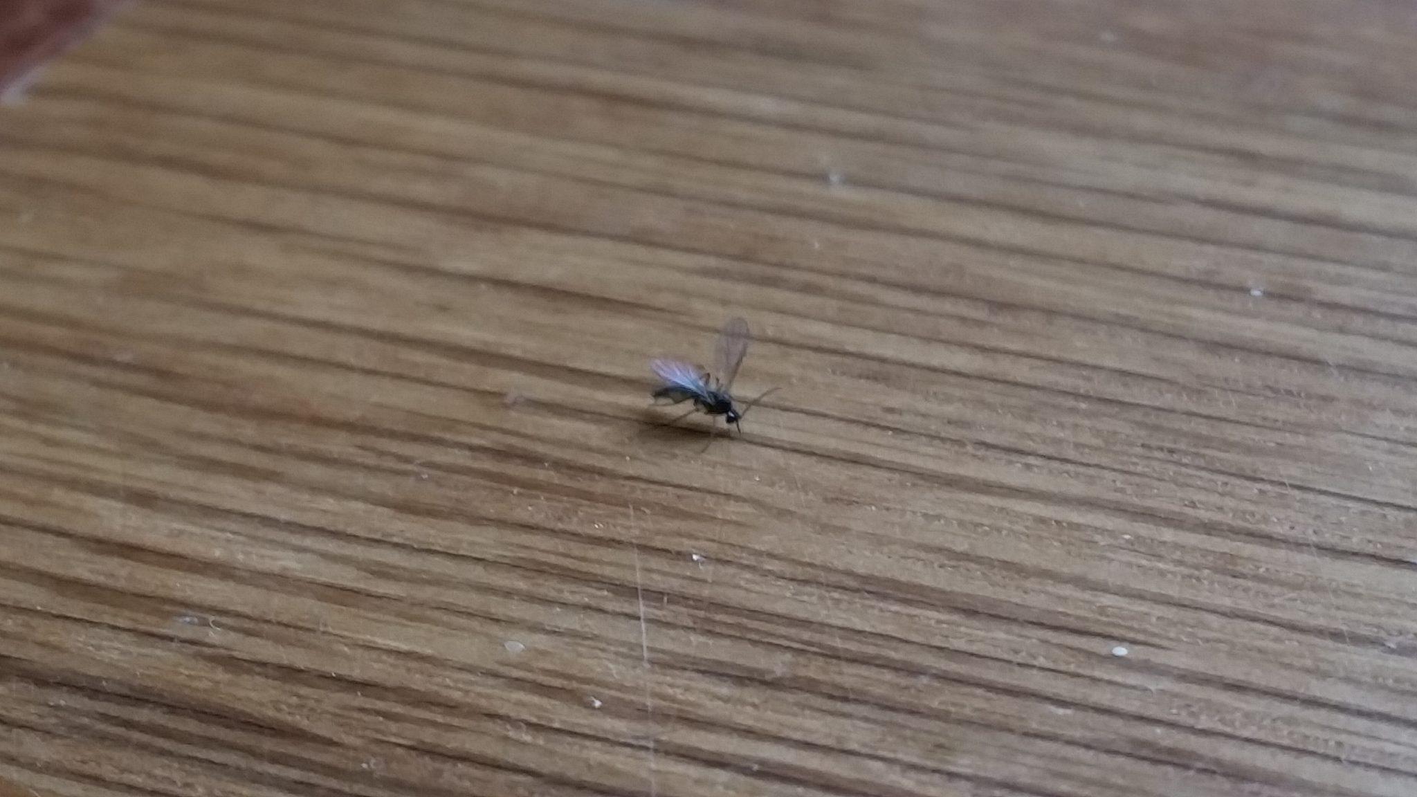 fungus gnat living